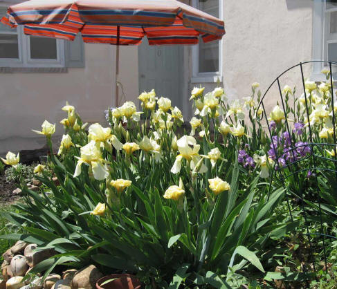 Award winning bearded German Iris